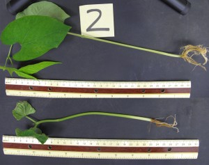 A bean plant treated with hydrogen sulfide (top) is substantially bigger at two weeks after gestation than the control plant (bottom) that was untreated.