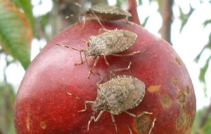 brown-stink-bug-fruit